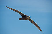 Picture 'Ant1_1_00077 Southern Giant Petrel, Argentina, Beagle Channel'