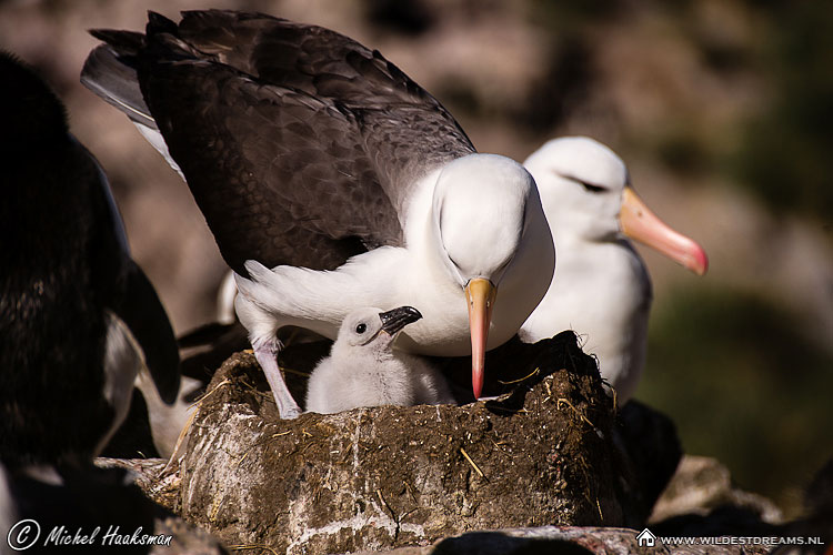 Black-browed Albatross, Diomedea Melanophris