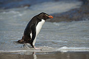 Picture 'Ant1_1_00463 Eudyptes Chrysocome, Penguin, Rockhopper Penguin, Antarctica and sub-Antarctic islands, Falkland Islands, Saunders Island'