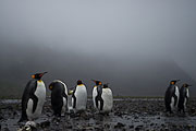 Picture 'Ant1_1_00715 Aptenodytes Patagonicus, King Penguin, Penguin, Antarctica and sub-Antarctic islands, South Georgia, Fortuna Bay'