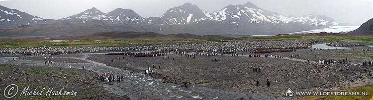 Aptenodytes Patagonicus, Colony, King Penguin, Penguin