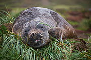 Picture 'Ant1_1_01018 Elephant Seal, Mirounga leonina, Southern Elephant Seal, Antarctica and sub-Antarctic islands, South Georgia, Godthul'