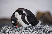 Picture 'Ant1_1_03123 Gentoo Penguin, Pygoscelis Papua, Antarctica and sub-Antarctic islands, Antarctic Peninsula, Brown Bluff'