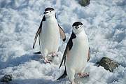 Picture 'Ant1_1_03673 Chinstrap Penguin, Penguin, Pygoscelis Antarcticus, Antarctica and sub-Antarctic islands, South Shetland Islands, Half Moon Island'
