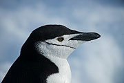 Picture 'Ant1_1_03683 Chinstrap Penguin, Penguin, Pygoscelis Antarcticus, Antarctica and sub-Antarctic islands, South Shetland Islands, Half Moon Island'