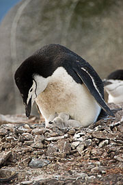 Picture 'Ant1_1_03717 Chick, Chinstrap Penguin, Penguin, Pygoscelis Antarcticus, Antarctica and sub-Antarctic islands, South Shetland Islands, Half Moon Island'