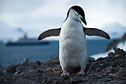 Picture 'Ant1_1_03763 Chinstrap Penguin, Penguin, Pygoscelis Antarcticus, Antarctica and sub-Antarctic islands, South Shetland Islands, Half Moon Island'