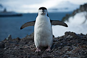 Picture 'Ant1_1_03769 Chinstrap Penguin, Penguin, Pygoscelis Antarcticus, Antarctica and sub-Antarctic islands, South Shetland Islands, Half Moon Island'