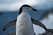 Picture 'Ant1_1_03771 Chinstrap Penguin, Penguin, Pygoscelis Antarcticus, Antarctica and sub-Antarctic islands, South Shetland Islands, Half Moon Island'