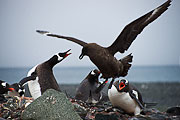 Picture 'Ant1_1_04192 Gentoo Penguin, Pygoscelis Papua, Skua, Antarctica and sub-Antarctic islands, South Shetland Islands, Yankee Harbour'