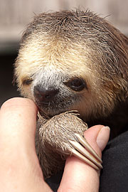 Picture 'Br1_1_00461 Three-toed Sloth, Brazil'