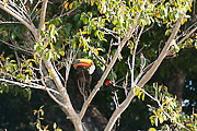 Picture 'Br1_1_01030 Ramphastidae, Toucan, Brazil'