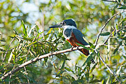 Picture 'Br1_1_01049 Kingfisher, Brazil'