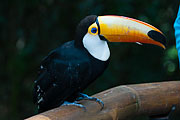 Picture 'Br1_1_01676 Ramphastidae, Toucan, Brazil'