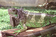 Picture 'Cr1_09_12 Iguana, Costa Rica'