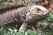 Picture 'Cr1_09_35 Iguana, Costa Rica'
