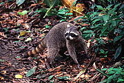 Picture 'Cr1_10_24 Raccoon, Costa Rica'