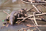 Picture 'Cr1_15_08 Caiman, Costa Rica'