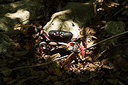 Picture 'Cub1_2_05360 Crab, Red Land Crab, Cuba'