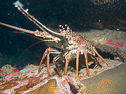 Picture 'Cur1_0_01185 Lobster, Painted Rock Lobster, Curacao'