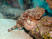 Picture 'Cur1_0_01285 Stonefish, Curacao'