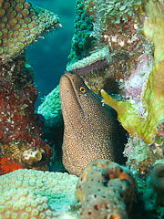 Picture 'Cur1_0_01373 Moray Eel, Curacao'