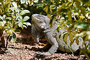 Picture 'Cur2_1_06340 Green Iguana, Curacao'