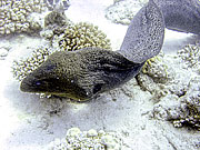 Picture 'Eg2_0_2191 Moray Eel, Egypt'