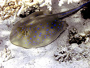 Picture 'Eg2_0_2258 Blue-spotted Ray, Egypt'