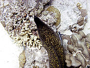 Picture 'Eg2_0_2361 Moray Eel, Egypt'