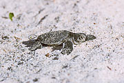 Picture 'Eq1_01_24 Hatchling, Pacific Green Sea Turtle, Galapagos, Santa Cruz, Las Bachas'
