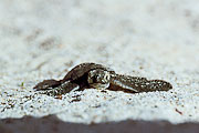 Picture 'Eq1_01_26 Hatchling, Pacific Green Sea Turtle, Galapagos, Santa Cruz, Las Bachas'
