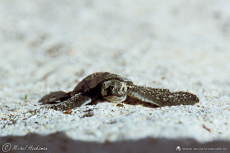 Hatchling, Pacific Green Sea Turtle