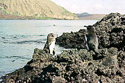 Picture 'Eq1_03_16 Galapagos Penguin, Penguin, Galapagos, Bartolome'