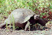 Picture 'Eq1_06_21 Giant Tortoise, Tortoise, Galapagos, Isabella, Urbina Bay'