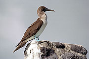Picture 'Eq1_21_31 Blue Footed Booby, Galapagos, Espanola, Punta Suarez'