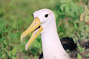 Picture 'Eq1_22_18 Albatross, Waved Albatross, Galapagos, Espanola, Punta Suarez'