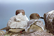 Picture 'Eq1_30_07 Gull, Swallow-tailed gull, Galapagos, Plazas'