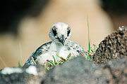 Picture 'Eq1_30_28 Chick, Swallow-tailed gull, Galapagos, Plazas'