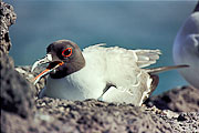 Picture 'Eq1_31_13 Gull, Swallow-tailed gull, Galapagos, Plazas'