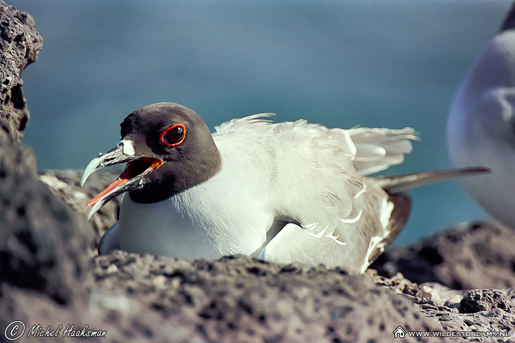 Gull, Swallow-tailed gull