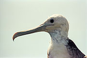Picture 'Eq1_32_15 Frigatebird, Galapagos, North Seymour'