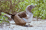 Picture 'Eq1_33_07 Blue Footed Booby, Egg, Galapagos, North Seymour'