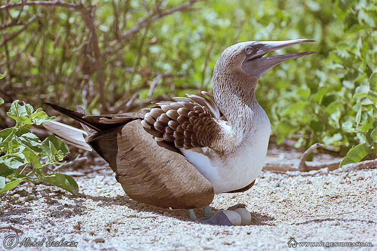 Blue Footed Booby, Egg