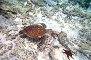 Picture 'Eq1_35_02 Turtle, Galapagos, Devils Crown'