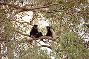 Picture 'KT1_21_06 Black-and-White Colobus, Tanzania, Arusha'