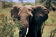Picture 'KT1_44_12 African Elephant, Elephant, Tanzania, Serengeti'