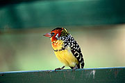 Picture 'KT1_46_22 Red-and-Yellow Barbet, Tanzania, Lake Manyara'