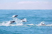 Picture 'Nz2_11_8 Dolphin, Dusky Dolphin, New Zealand, Kaikoura'