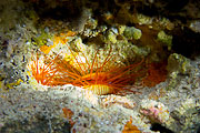 Picture 'Palau1_1_00250 Electric Flame Scallop, Palau'